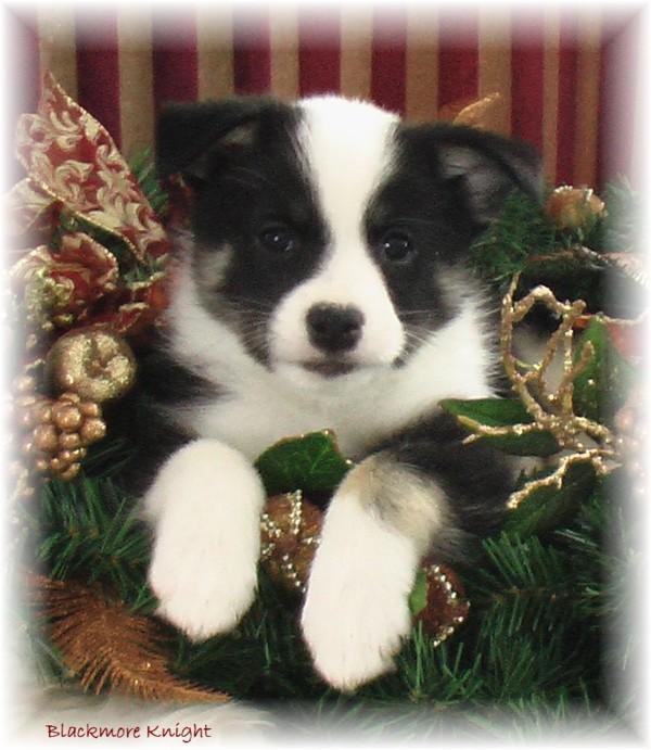Icelandic Sheepdog Puppies: Icelandic Icelandicsheepdogpuppiesovertheyears Breed