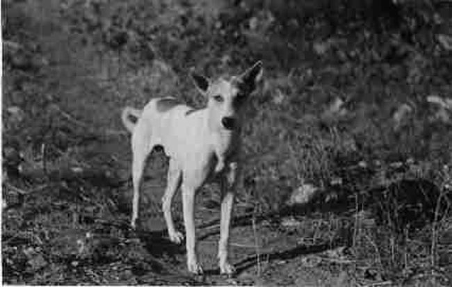 Indian pariah Dog: Indian Indian Pariah Dogs The Pure Dog Breeds Of India