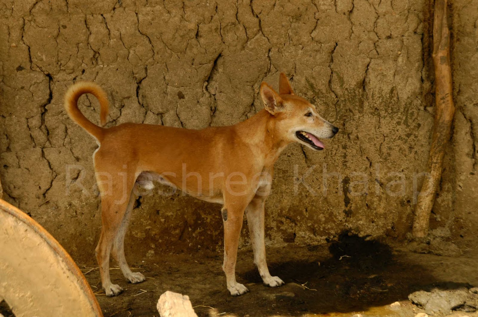 Indian pariah Dog: Indian Indogs Of Central India Breed