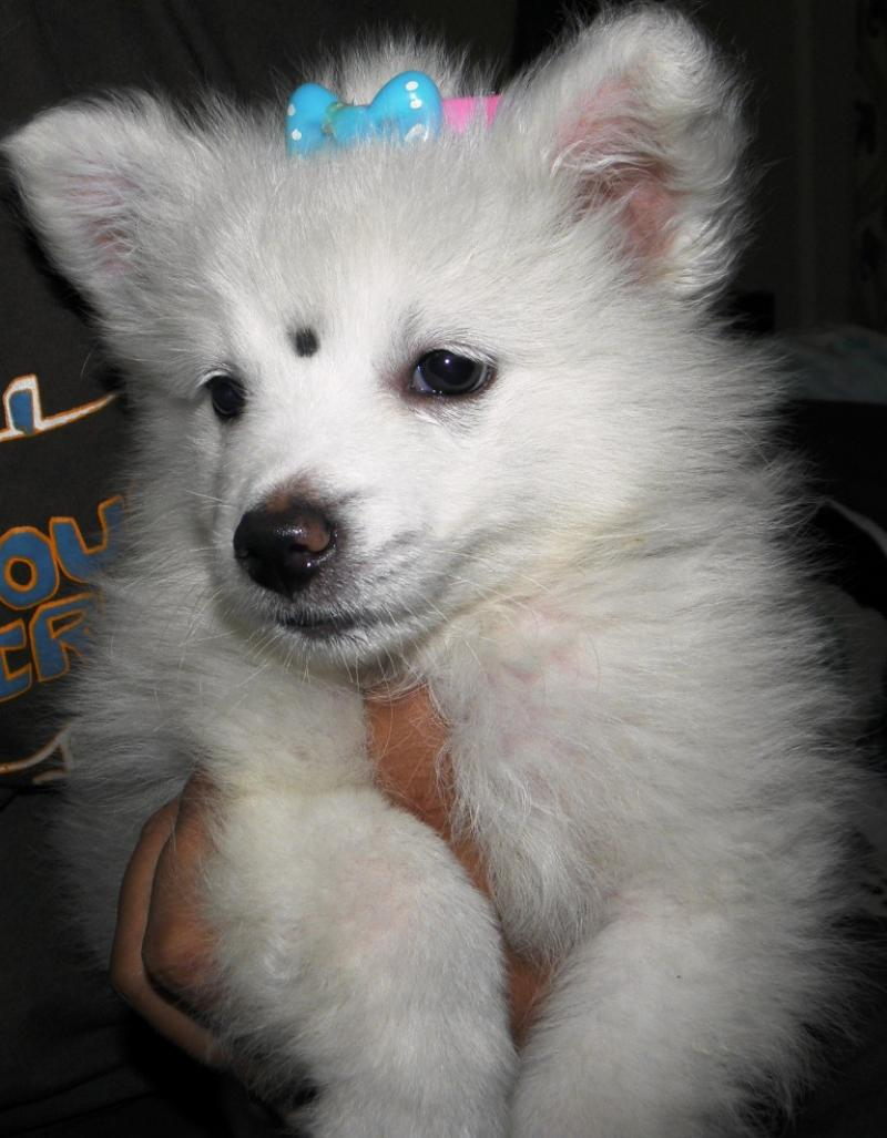 Indian Spitz Puppies: Indian Michkennel Spitz German Breed