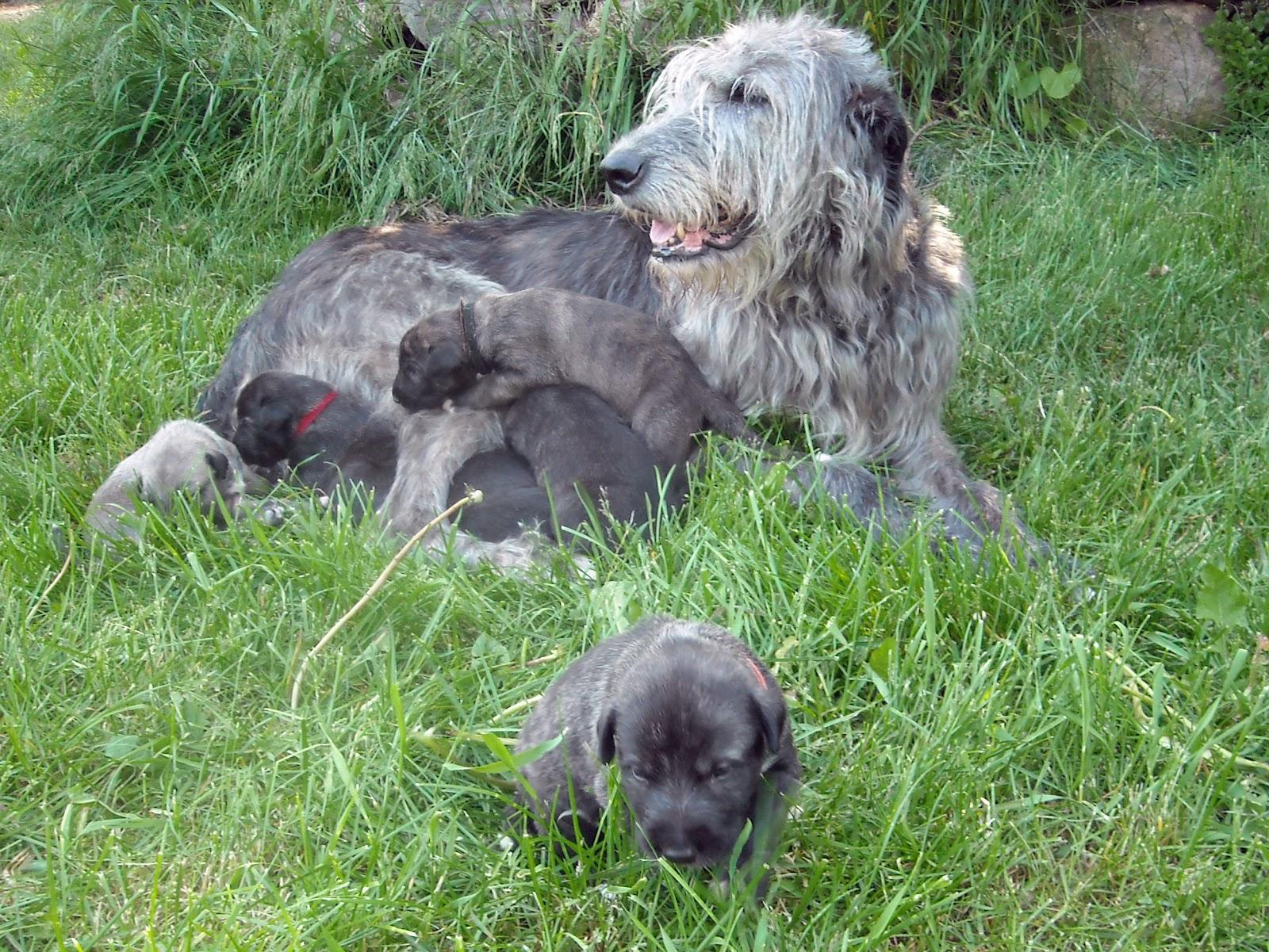 Irish Wolfhound Puppies: Irish Four Weeks Old Today Breed