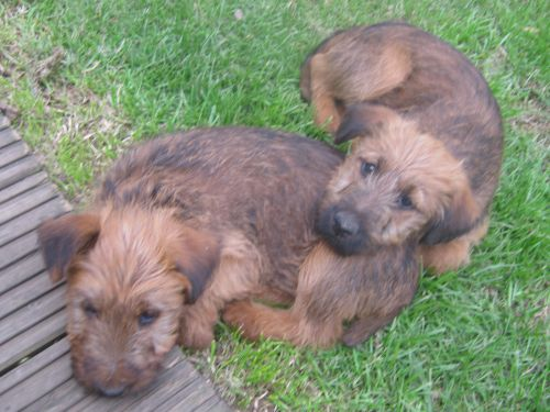 Irish Terrier Puppies: Irish Irish Terrier Dog Breed Puppies