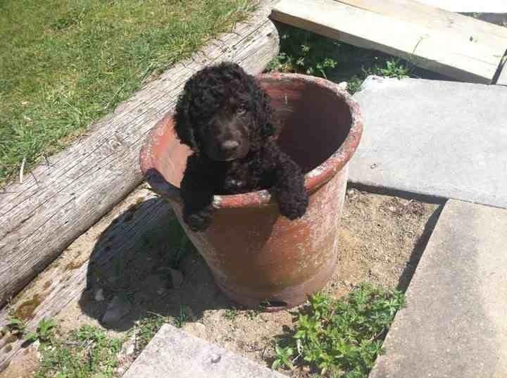 Irish Water Spaniel Puppies: Irish Irish Water Spaniel Puppies For Sale Royston Breed