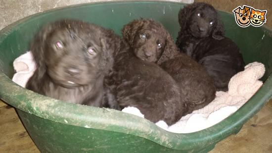 Irish Water Spaniel Puppies: Irish Irish Water Spanielcocker Spaniel Puppies Lockerbie Breed