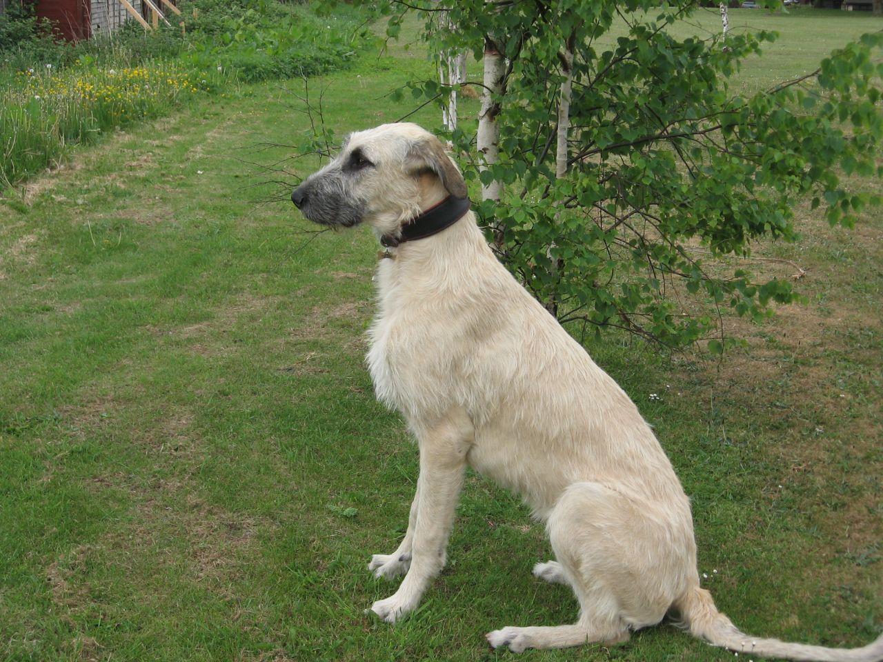 Irish Wolfhound Puppies: Irish Irish Wolfhound Puppies Oldham Breed