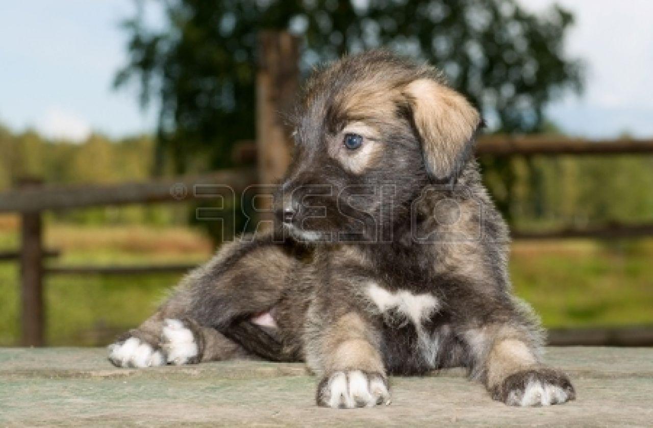 Irish Wolfhound Puppies: Irish Irish Wolfhound Puppy Riding In The St Patrick S Day Parade Breed