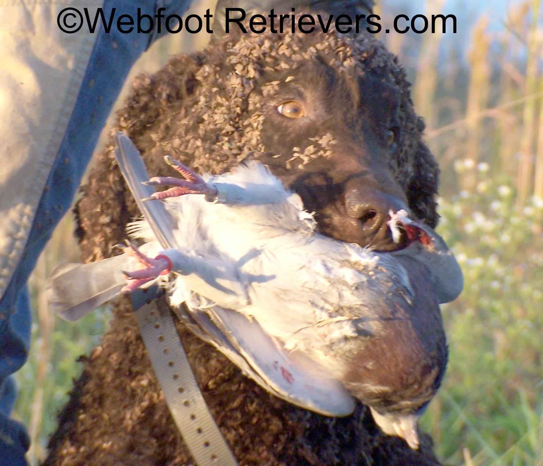 Irish Water Spaniel Dog: Irish Sambo Breed