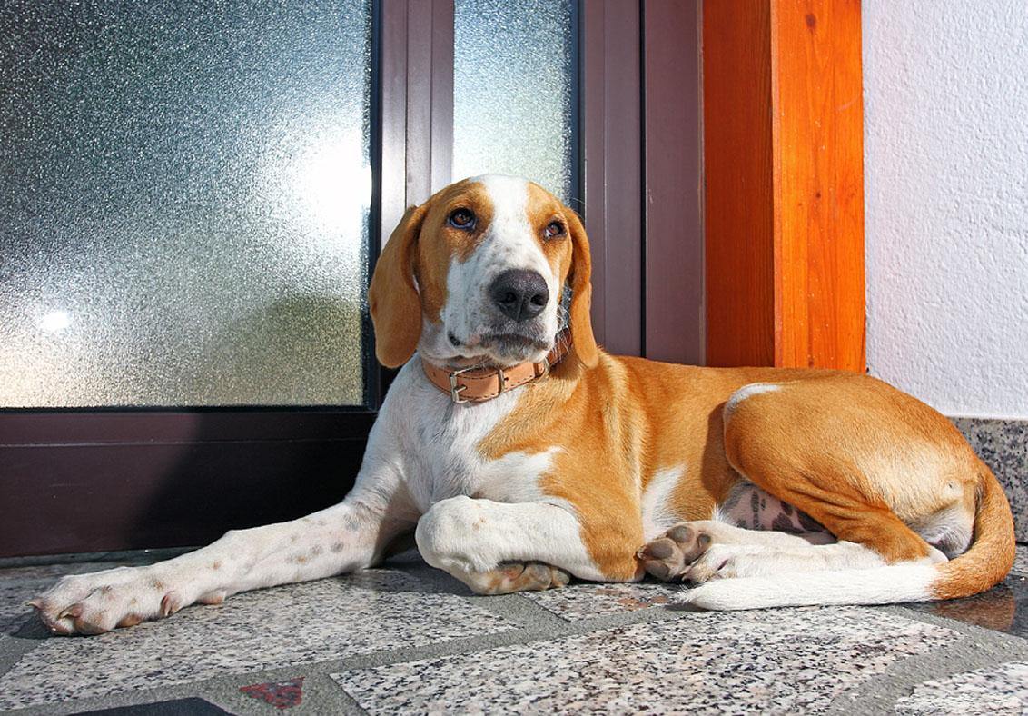 Istrian Shorthaired Hound Dog: Istrian Beautiful Istrian Shorthaired Hound Dog Breed