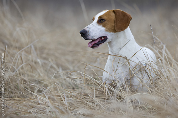 Istrian Shorthaired Hound Dog: Istrian Dog Breeds Fci Group Istrian Shorthaired Hound Istrian