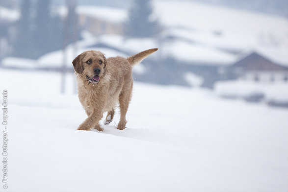 Istrian Shorthaired Hound Dog: Istrian Istrian Coarse Haired Hound Dog In The Snow Breed