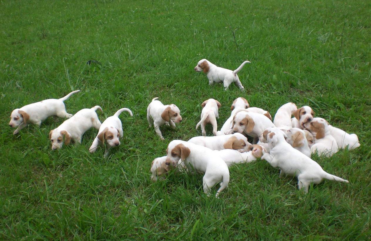 Istrian Shorthaired Hound Puppies: Istrian Istrian Shorthaired Hound Puppies Breed