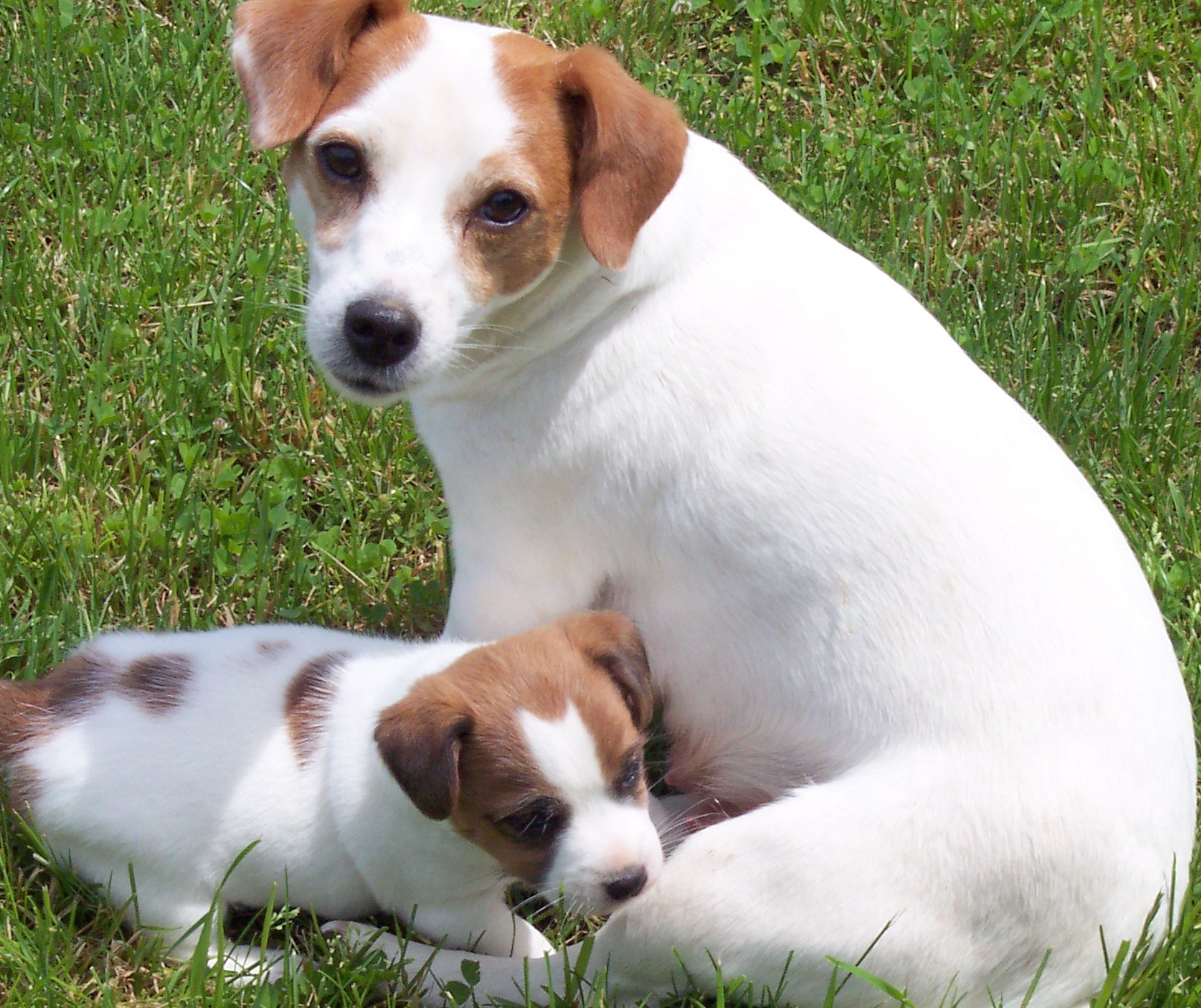 Jack Russell Terrier Puppies: Jack Breed