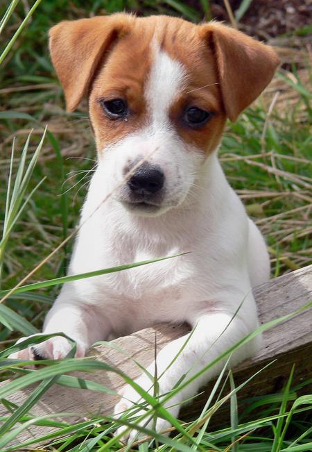 Jack Russell Terrier Puppies: Jack Criaderodejackrussell Breed