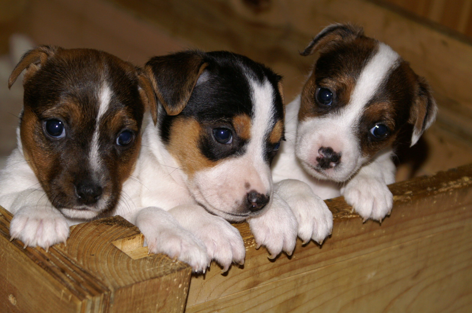 Jack Russell Terrier Puppies: Jack Jack Russell Terrier Puppies Breed
