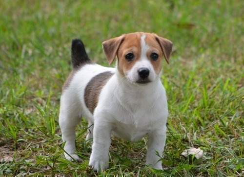 Jack Russell Terrier Puppies: Jack Jack Russell Terrier Puppies For Sale Breed