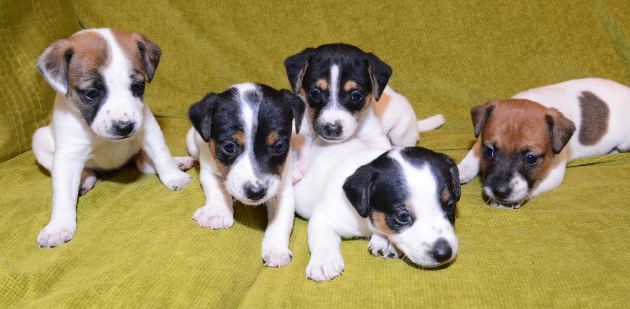 Jack Russell Terrier Puppies Puppy Dog Gallery