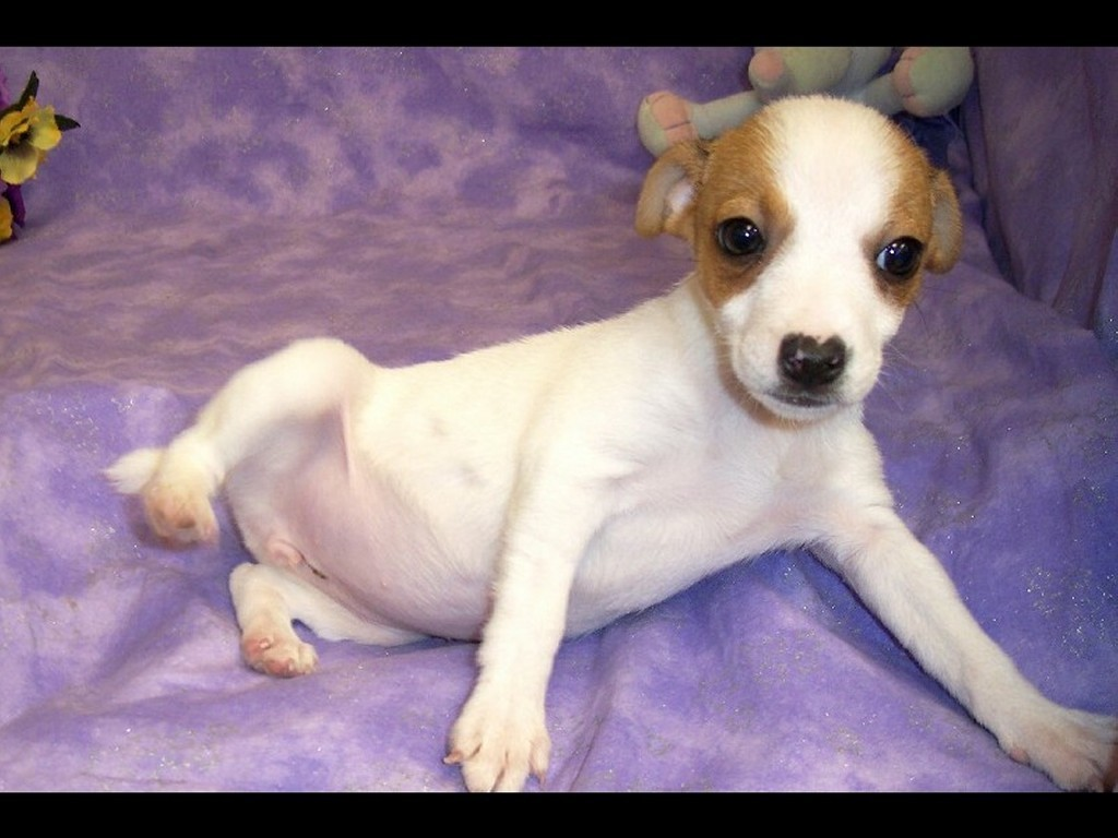 Jack Russell Terrier Puppies: Jack Jack Russell Terrier Puppy Breed