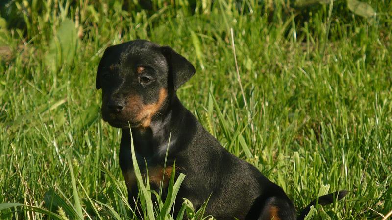 Jagdterrier Puppies: Jagdterrier Jagd Puppies Breed