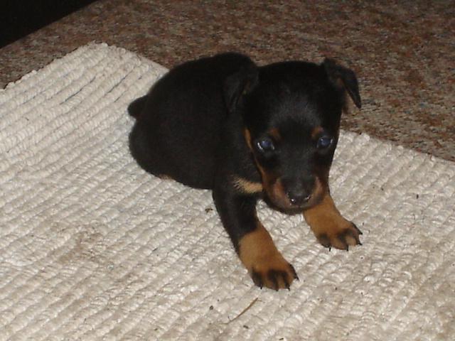Jagdterrier Puppies: Jagdterrier Jagd Terriers Breed