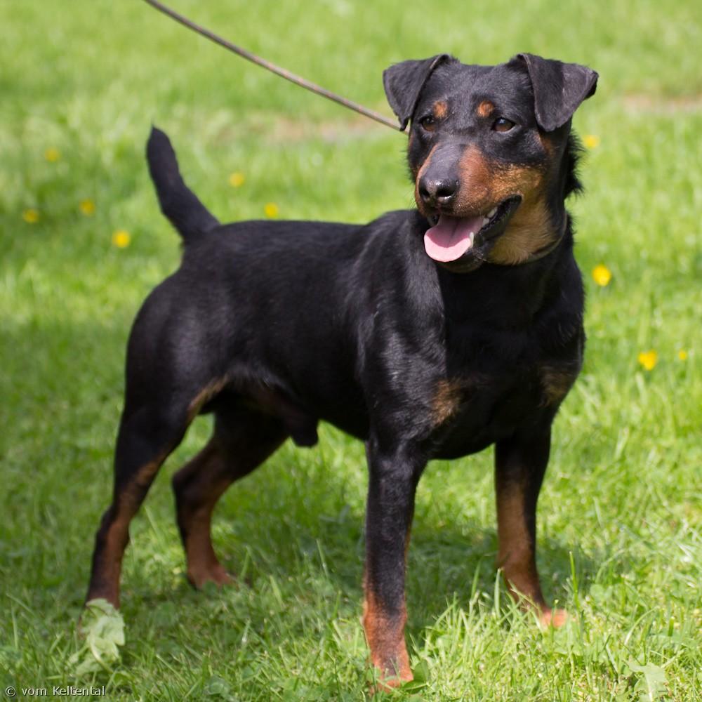 Jagdterrier Dog: Jagdterrier Lovely Jagdterrier Dog Breed