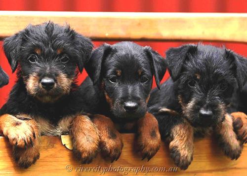 Jagdterrier Puppies: Jagdterrier Puppy Pics Breed