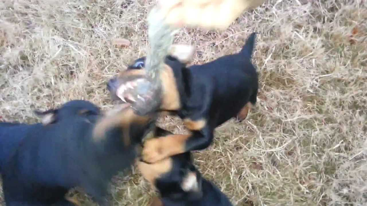 Jagdterrier Puppies: Jagdterrier Watch Breed