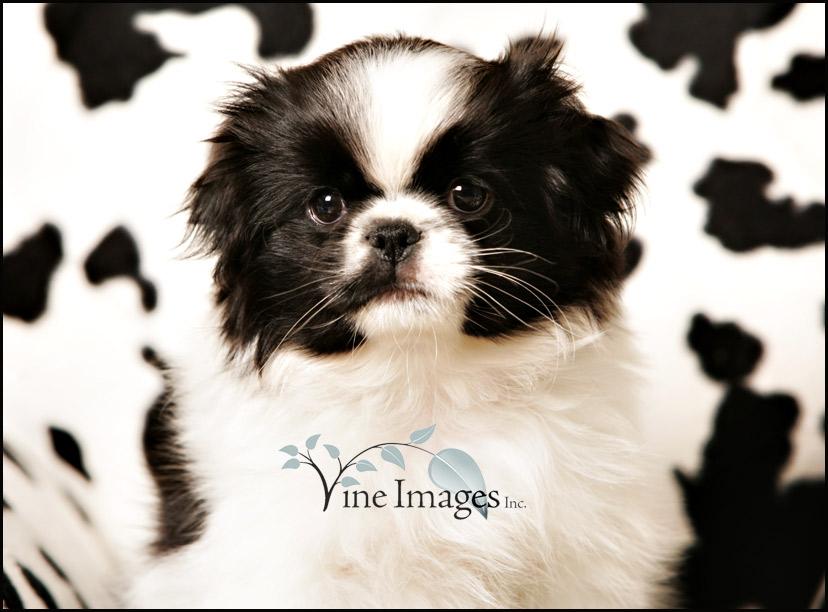 Japanese Terrier Puppies: Japanese Blog Breed