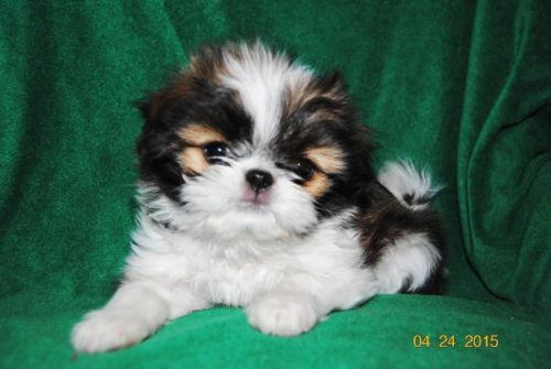 Japanese Terrier Puppies: Japanese Dogs Age Baby Scottish Terrier Puppies Cute As A Bug Minneapolis Breed