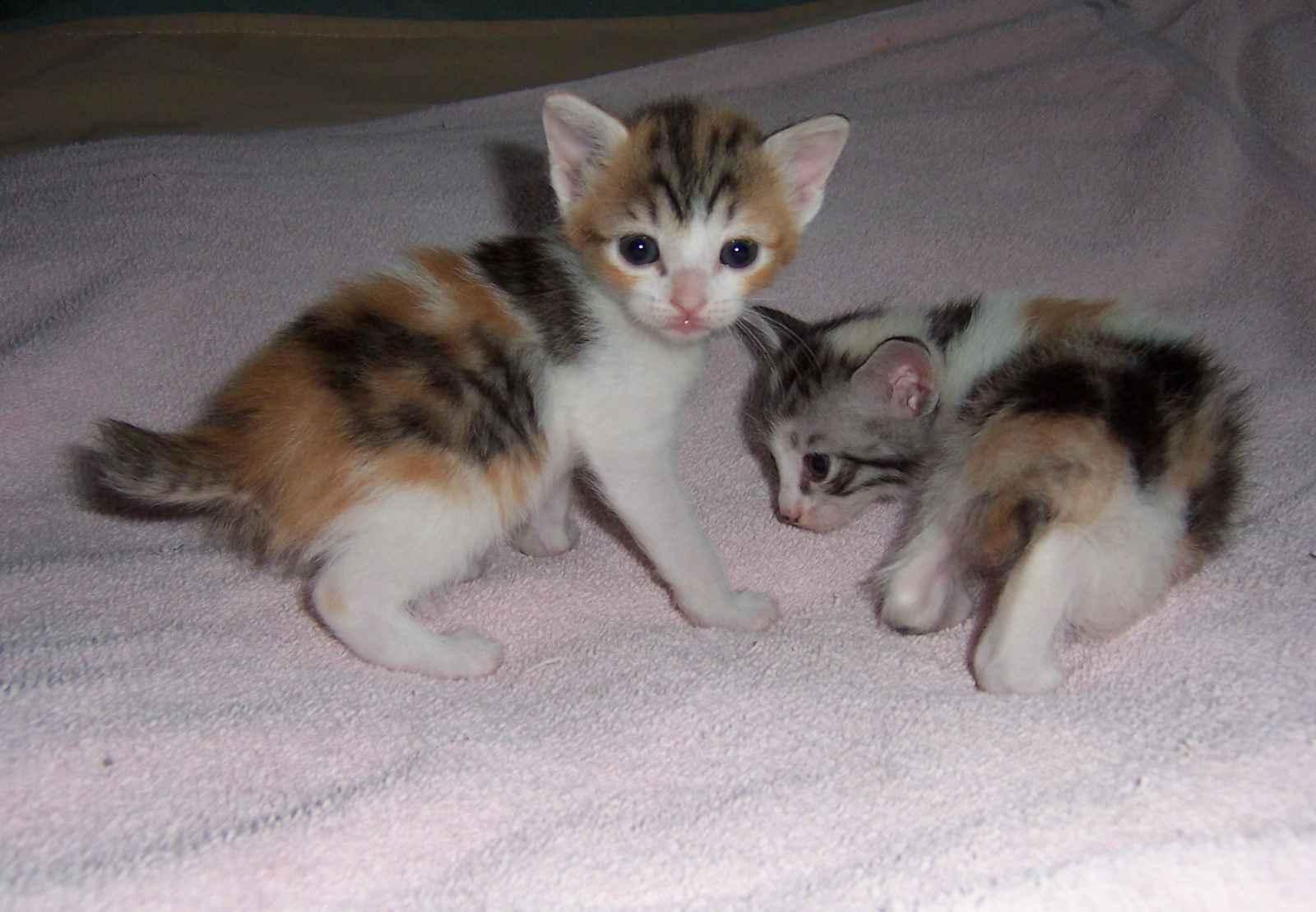 Japanese Bobtail Cat: Japanese Japanese Bobtail Breed