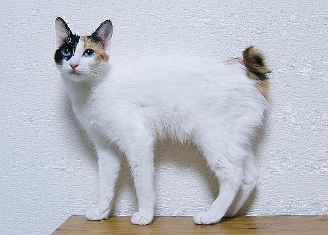 Japanese Bobtail Cat: Japanese Japanese Bobtail Cat Breed