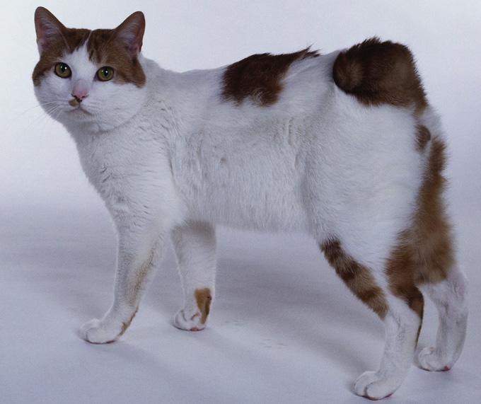 Japanese Bobtail Cat: Japanese Japanese Bobtail Cats Breed