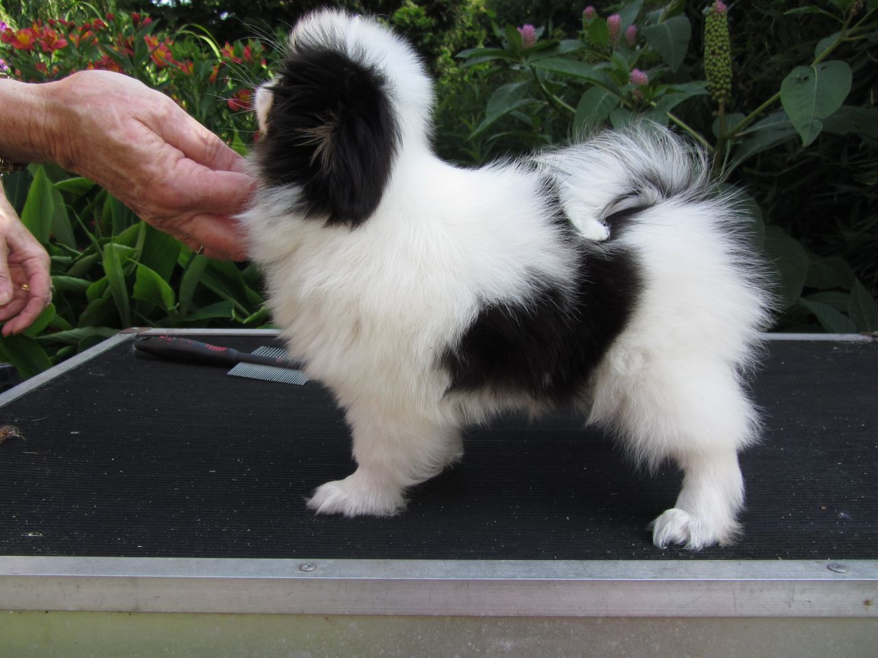 Japanese Chin Puppies: Japanese Japanese Chin Puppies For Sale Goole Breed