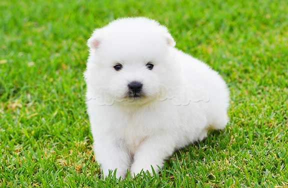 Japanese Spitz Puppies: Japanese Japanese Spitz Purebred Puppies Breed