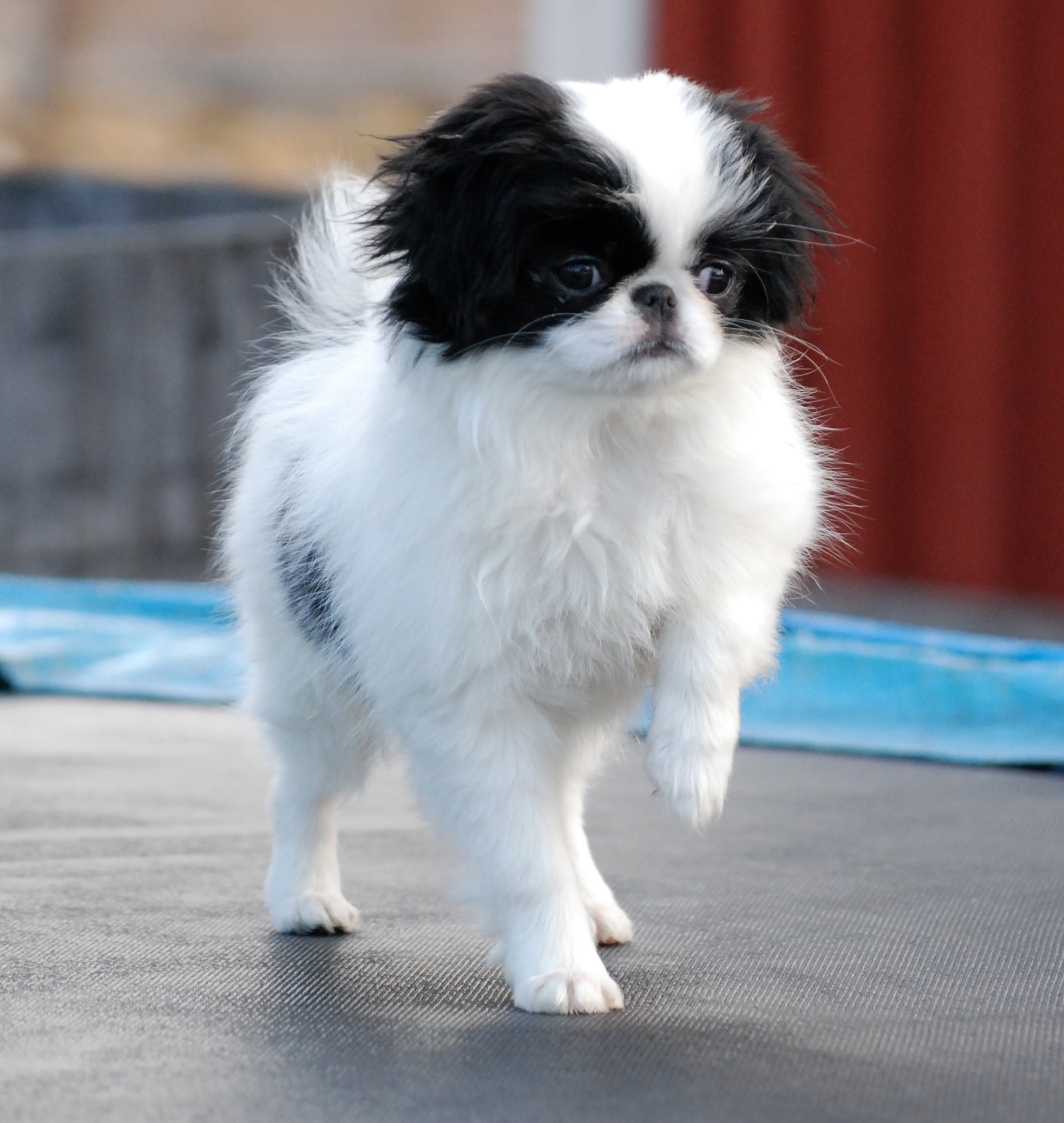 Japanese Chin Dog: Japanese Walking Japanese Chin Dog Breed