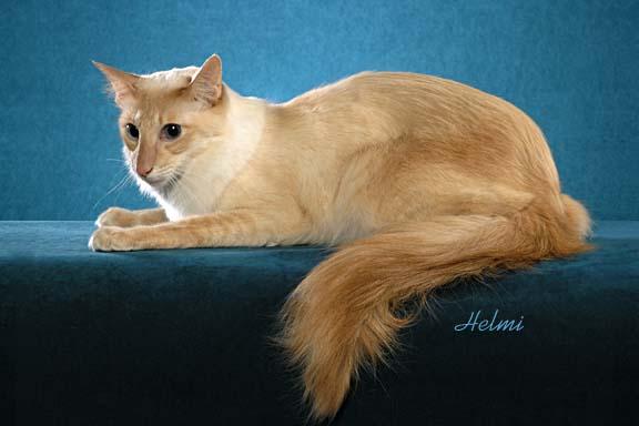 Javanese Kitten: Javanese Javanese Kitten Breed