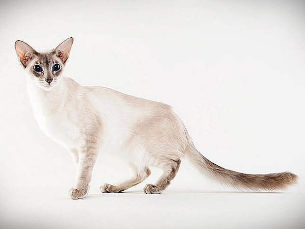 Javanese Cat: Javanese Showyourcat Breed