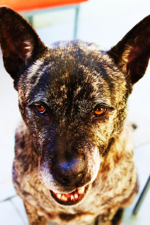 Kai Ken Dog: Kai Kai Ken Dog Face Breed