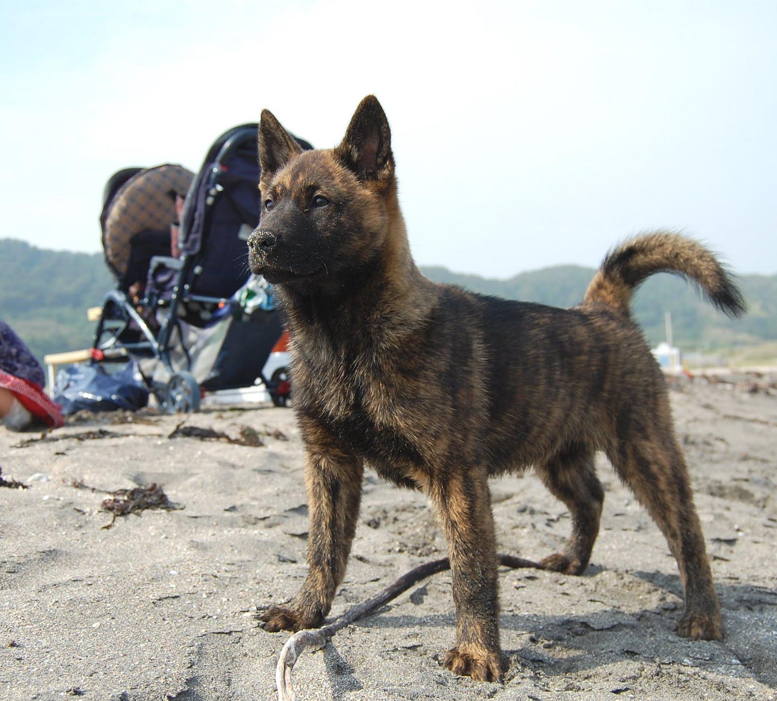 Kai Ken Dog: Kai Kai Ken Dog On The Beach Breed