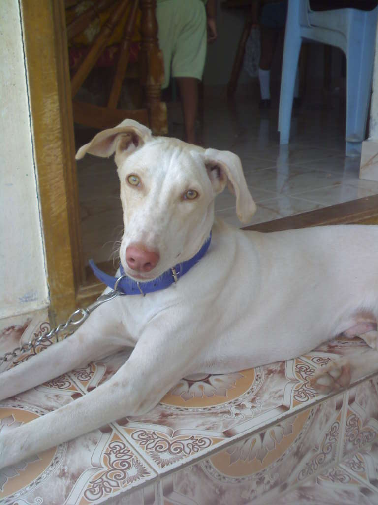 Kaikadi Dog: Kaikadi Cute Rajapalayam Dog Breed