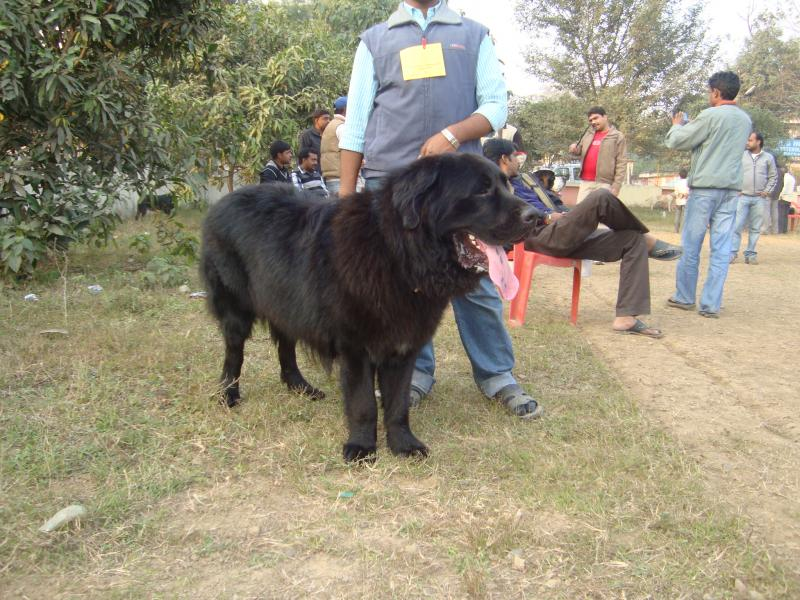 Kaikadi Dog: Kaikadi Patna Dog Show Breed