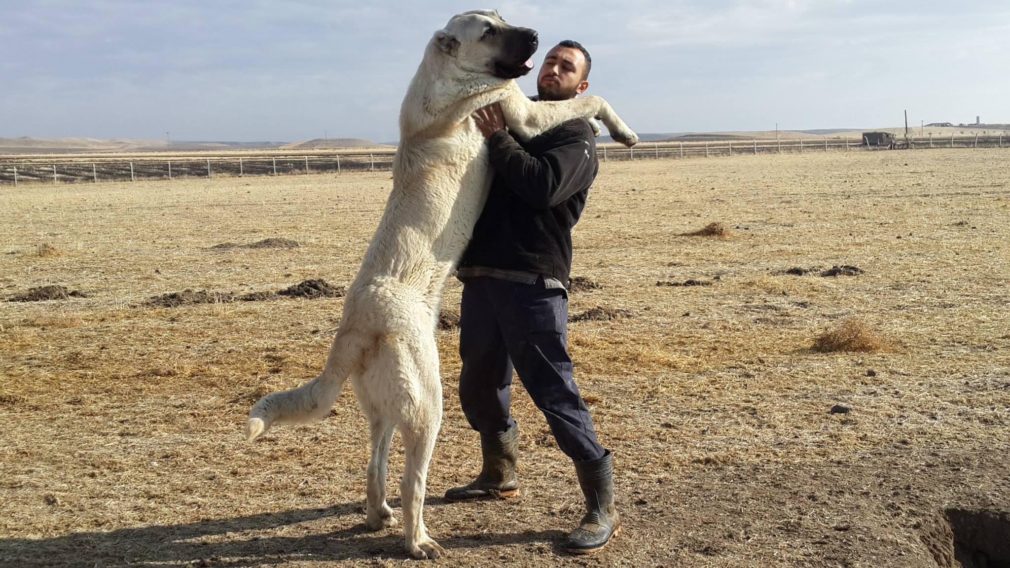 Kangal Dog: Kangal Kangal Breed