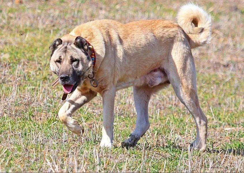 Kangal Dog: Kangal Kangal Dog Fight Breed