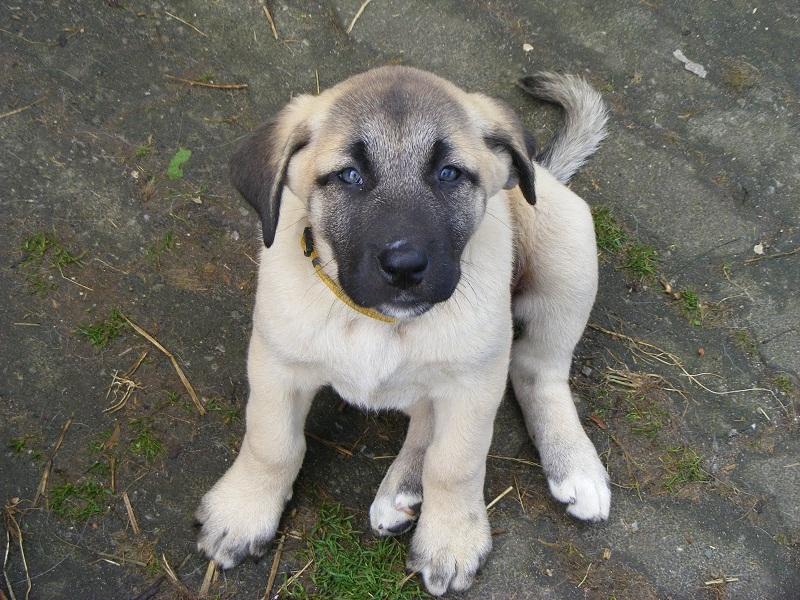 Kangal Puppies: Kangal Kangal Puppy Pictures Information Breed