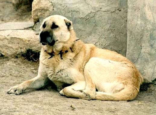 Kangal Dog: Kangal Kangaldog Breed
