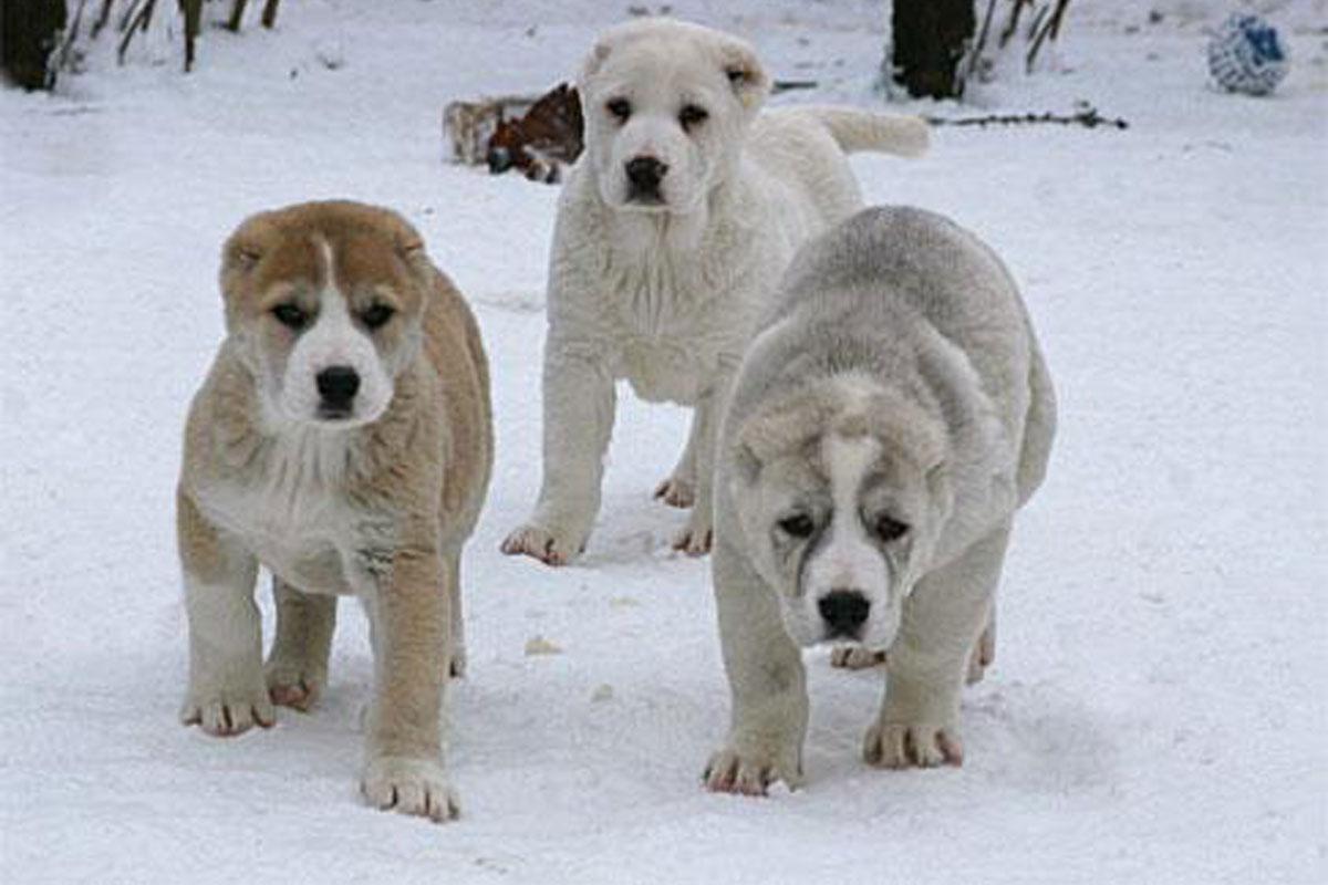 Kangal Puppies: Kangal Kurdish Kangal Puppies For Sale Breed