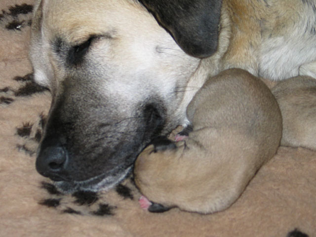 Kangal Puppies: Kangal Turkish Kangal Puppies Breed