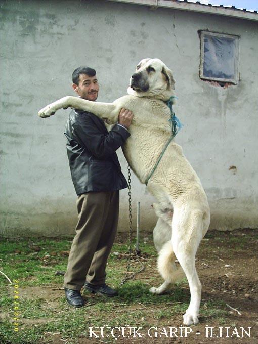 Kangal Dog: Kangal Yuksek Rk Kangal Sivasn Kangal Kangall Breed