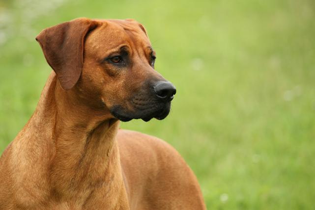 Kanni Puppies: Kanni Dekreufloyd Breed