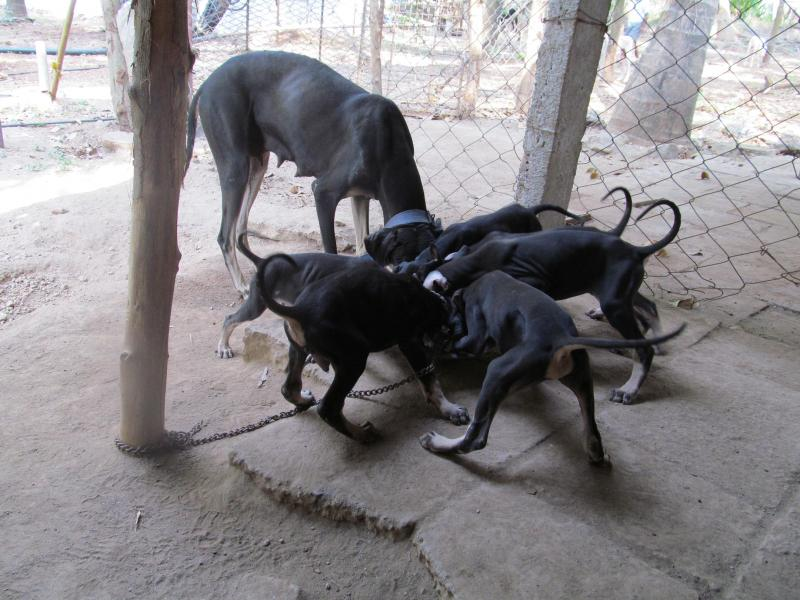 Kanni Puppies: Kanni Dheerajsimmi Kanni Breed