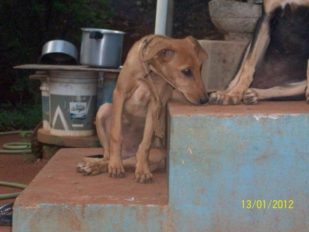Kanni Dog: Kanni Dogs Kanni Chippiparai Female Puppies For Sale Breed